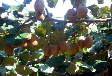 Zespri avvia ufficialmente la raccolta di kiwi Sun Gold in Italia con un viaggio organizzato