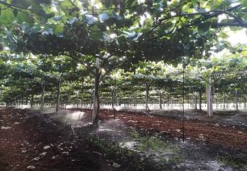 Agrintesa e IDeA Agro investono sul kiwi giallo