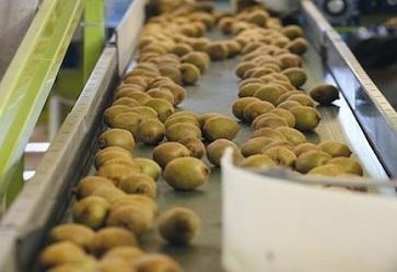 Kiwi, produzione italiana ai minimi storici