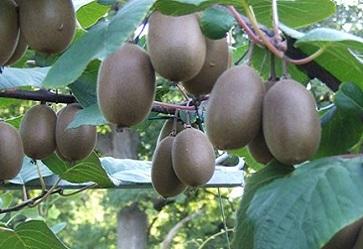 Kiwi: produzione italiana contenuta, qualità non omogenea