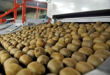 Per il kiwi un finale di mercato in crescendo